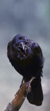 Close up of Three eyed raven Stock Photography