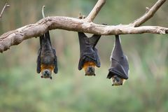 Three Flying Foxes Hanging Upside Down. Close up of three grey headed flying foxes hanging upside down in a tree. Shot taken in Melbourne, Australia royalty free stock photography