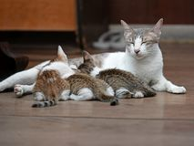 Close up Three Kittens with Mother Cat on The Floor. Closeup Three Kittens with Mother Cat on The Floor royalty free stock photo