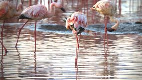 Close up of three lesser flamingos preening their feathers at lake bogoria