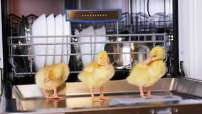 Close-up, three Little yellow ducklings sitting, walking in a dishwasher, sitting on plates, a saucepan, in a basket. In stock footage