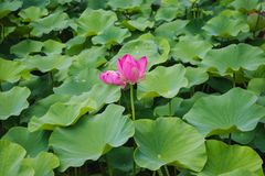 Lotus flowers. The close-up of three lotus flowers are blooming in the summer garden stock photo