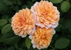 Close up of three peach colored Grace hybrid shrub roses with green leaves in background royalty free stock images