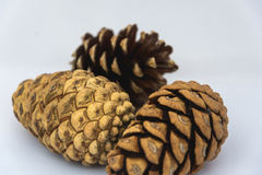 Close up of three pinecone on a white background Stock Image