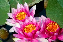Water lily flower. The close-up of three pink water lily flowers Stock Photo