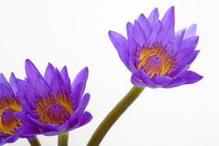 Purple water lily flowers Royalty Free Stock Image