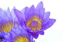 Purple water lily flowers Royalty Free Stock Photo