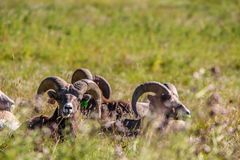 Big horns relaxing in a meadow, Sheep River Provincial Park, Alberta, Canada. A close up of three rams relaxing in a grassy meadow Stock Photo