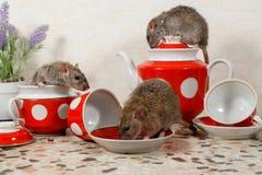 Free Close-up Three Rats On Countertop At Kitchen. Royalty Free Stock Image - 137211706