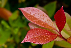 Close-up of three red leaves (Path included). Close-up of water drops on red leaves  of evergreen plant (Photinia fraseri Red Robin) after rain (Clipping Path Royalty Free Stock Images