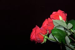 Close-up of three red roses on black background. With copy space stock images