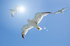 Close-up of three seagulls. Flying over the sea on a clear blue sky Stock Photos