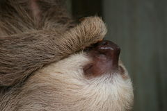 Close-up of three-toed sloth. This sloth hangs upside down sound asleep oblivious to the fact that people are watching him Stock Images