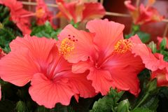 Close Up of three tropical Hibiscus in full bloom. stock photography