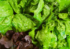 Close Up of three varieties of Lettuce Stock Photos