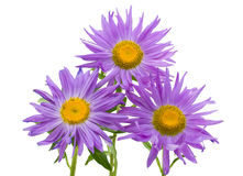 Close-up three violet asters isolated Royalty Free Stock Photography