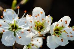 Three white cherry blossoms with vibrant orange filaments royalty free stock photo