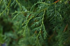 Close up thuja Stock Photography