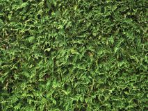 Green Leaves Of Thuja Stock Photography
