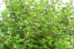 Close-up of thyme Stock Image