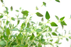 Close up of thyme Stock Photography