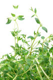Close up of thyme Royalty Free Stock Photo