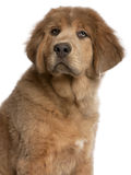 Close-up of Tibetan Mastiff puppy, 3 months old Royalty Free Stock Photos