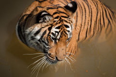 Close Up of Tiger Royalty Free Stock Images