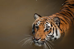 Close Up of Tiger Stock Images