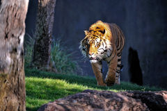 Close up of tiger Stock Photography