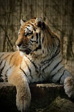 Close up of tiger. In captivity Stock Photo