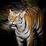 Close Up Tiger Stock Image