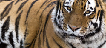 Close up Tiger Banner. Banner portrait of a tiger making eye contact with room for text Royalty Free Stock Photos