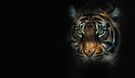 Close up on  tiger, black background Stock Image