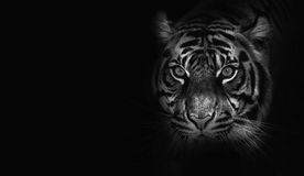 Close up on  tiger, black background, black and white Stock Photography