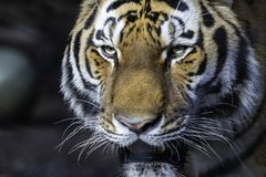 Close up of a tiger in the zoo of Hamburg, Germany stock photo