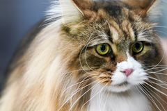 Close up the Tiger cat face long whiskers long white and brown hair on it stock photos