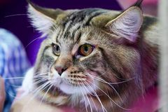 Close up the tiger cat face and  long whiskers long white-brown hair stock images