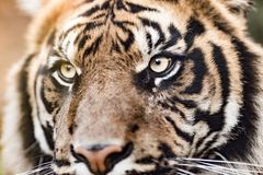 A close-up of the tiger, the biggest feline. A close-up of the tiger eyes, the biggest feline Royalty Free Stock Photos