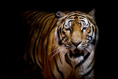 Close up tiger growl - isolated on black background Stock Photo