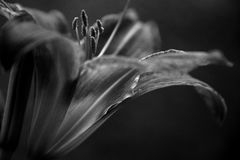 Close up of tiger lily in black and white stock image
