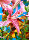 Close up of tiger lily Stock Photo