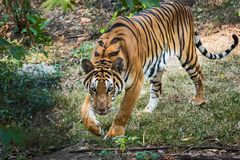 Close up tiger. That tiger look straight at me, it so scary Royalty Free Stock Photos