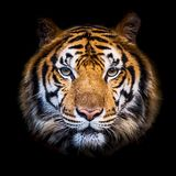 Close up tiger. Close up Tiger looking at me Royalty Free Stock Images