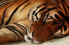 Close up of tiger lying down sleeping. stock image