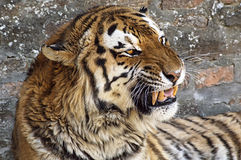 Close up of a tiger's face with bare teeth. royalty free stock images