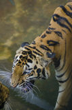 Close up of a tiger's face with bare teeth Stock Photo