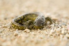 Close up Tiger Salamander Royalty Free Stock Photos