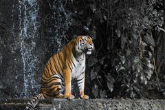 Close up tiger sitdown in front of the waterfall