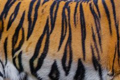 Close up tiger skin texture. And background royalty free stock photo